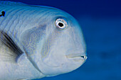 Hawaii, Narrow-bodied Razor Wrasse (xyrichtys pavo), Close up of face.