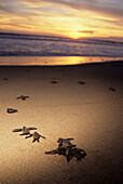 Mexico, Leatherback turtle hatchlings (Dermochelys coriacea) on beach scrambling towards ocean.