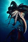 Hawaii, Octopus above diver.