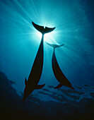 Hawaii, Two dolphins silhouetted against ocean surface sunrays, View from below.