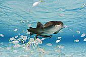 Bahamas, This nurse shark (Ginglymostoma cirratum) is pictured with a school of juvinile jacks and remora.