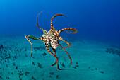 Hawaii, Day octopus (Octopus cyanea).