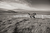Hawaii, Big Island, Kohala Ranch, Horse running along white fence in pasture, Ocean view (Sepia photograph).