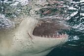Caribbean, Bahamas, Little Bahama Bank, Lemon Shark (Negaprion brevirostris) close-up near surface, mouth open.