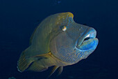 Micronesia, Palau, Close-up of a large Napoleon wrasse (Cheilnus undulatus).