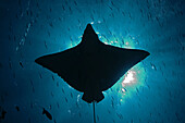 Micronesia, Palau, Spotted eagle ray (Aetobatus narinari), silhouette from below, sunburst and fish.