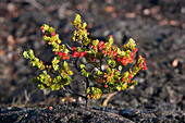 Pacific, Stock, Ron, Dahlquist, Berry, Botanical, Botanic, Branch, Bright, Cluster, Colorful, Day, Detail, Dew, Exotic, Green, Grow, Hawaiian, Hawaii Volcanoes National Park, Leaf, Natural, Ohelo, Outdoor, Pattern, Photo, Photosynthesis, Plant, Red, Ron D