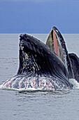 Alaska, Frederick Sound, Humpback whale (megaptera novanglia) bubble net feeding on herring.