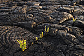 Hawaii, Big Island, Hawaii Volcanoes National Park, Chain of Craters Road, swordfern growing on Pahoehoe lava flow.
