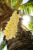 Hawaii, Close-up of a yellow plumeria lei hanging from a palm tree.