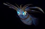 Indonesia, Banta Island, Oval squid (sepioteuthis lessonia) at night.