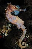 Indonesia, Bali, Tuumben, Thorny sea horse in sponge