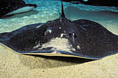 Hawaii, Close-up of Hawaiian stingray (Dasyatis brevis) on sandy ocean floor.