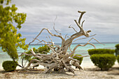 French Polynesia, Tahiti, Tuamotu, large and unusually shaped mass of driftwood on sandy beach, ocean in background.