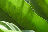 Thailand, Nong Bua Lumphu, bright green banana leaves.