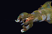 Indonesia, Oval squid (Sepioteuthis lessoniana) feeds on shrimp in dark water.