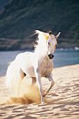 White horse running on the beach.