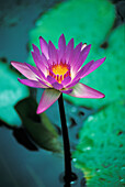 Water lily in water, purple