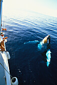 Hawaii, Maui, Whale watching tour, Whale surfaces beside boat, body visible clear water