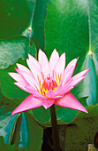 Pink water lily surrounded by leaves