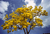 Primavera or gold tree (Tabebuia donnell-smithii) Bignoniaceae, with bright yellow blossoms in blue sky