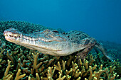 Micronesia, Palau, Captive saltwater crocodile [Crocodylus porosus] on coral bed