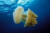 Thailand, 2foot jellyfish (Crambione mastigophora) with jackfish in tentacles.