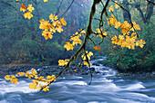 Oregon, Cascade Mountain Range, yellow autumn leaves with stream A51G