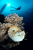 Indonesia, nautilus shell (Nautilus pompilius) close-up soft coral, diver background silhouetted A80H