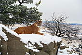 Montana mountain lion (Felis concolor) resting in day bed winter, snow A52G