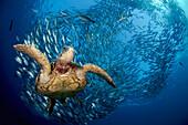 Indonesia, Bali A green sea turtle, (Chelonia mydas) glides below a school of Bigeye Jacks (Caranx sexfasciatus).
