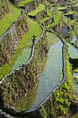 'Two Boys Wave As They Walk Along Stone Walls Of The Batad Rice Terraces, Batad, Luzon, Philippines'