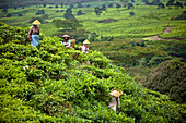 'Women Working In The Tea Plantation; Tanjung Sakti Sumatera Selatan Indonesia'
