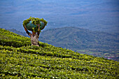 'A Worker In A Tea Plantation; Tanjung Sakti Sumatera Selatan Indonesia'