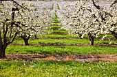 'Apple Blossom Trees In The Hood River Valley In Columbia River Gorge, Oregon United States Of America'