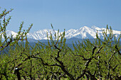 Peach crop at the foothills of the Canigou,Eastern Pyrenees,France,Languedoc-Roussillon
