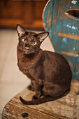 Havana tomcat sitting on a chair, Oriental shorthair cat, Berlin, Germany