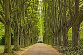Allee of Hornbeam trees, Dortmund, North Rhine-Westphalia, Germany