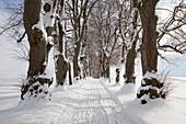 Alley of lime trees, Kurfuersten Allee, Marktoberdorf, Allgaeu region, Bavaria, Germany