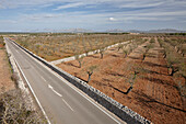 Almond trees next to a rural road MA-3400 near Santa Margalida, northern island, Mallorca, Balearic Islands, Spain