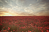 Field of poppies under dramatic sky. Poppy Field