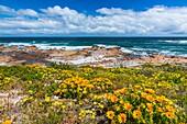 Wildflowers, Cape Columbine Nature Reserve, West Coast Peninsula, Western Cape province, South Africa, Africa