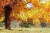 a sugar maple tree in autumn color