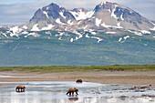 Grizzly bears - Ursus arctos - at Katmai National Park, Alaska, U S A