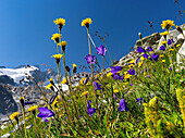 Rough Hawkbit Leontodon hispidus and Scheuchzers Bellflower Campanula scheuchzeri in full bloom, in the background the rock walls and glaciers of the Reichenspitzgruppe mountains in the Zillertal Alps  Europe, Central Europe, Austria, July