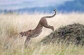 Cheetah Acinonyx jubatus stretching and yawning, Masai Mara, Kenya