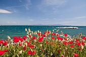 l´escala,catalonia,spain seascape with red flowers