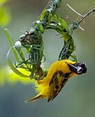 Adult male Black-headed Weaver Ploceus melanocephalus aka Yellow-backed Weaver, constructing a nest