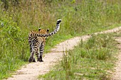 Adult female Leopard Panthera pardus walking down track in Queen Elizabeth National Park, Uganda, rear view, showing distinctive curve of tail