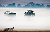 Group of Plain´s Zebra also known as Common Zebra or Burchell´s Zebra Equus quagga previously known as Equus burchelli, in early morning mist on Masai Mara, Kenya